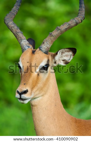 Close up of a wild African Impala antelope - stock photo