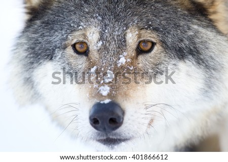 Close-up of a wolfs head in the winter - stock photo