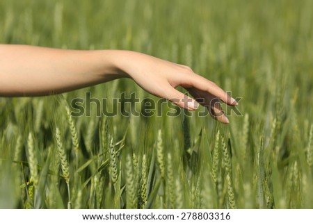 Close up of a woman hand touching softly wheat in a green field in summertime - stock photo