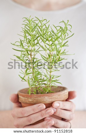 Close up of a woman holding a rosemary plant in her hands - stock photo