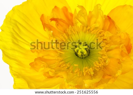Close up of a yellow Icelandic Poppy with light from behind and beautiful curving petals, isolated on a white background - stock photo
