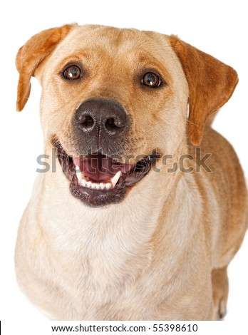 Close-up of a yellow Labrador Retriever dog with a happy face - stock photo