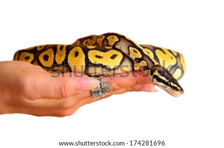 Close up of a young ball python (Python Regius) pet snake held by a pair of young female hands. Isolated on white background, selective focus on the snake's eyes. - stock photo