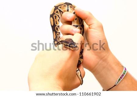 Close up of a young ball python (Python Regius) pet snake held by a pair of young male hands. Isolated on white, lots of copy space, selective focus on the snake's eyes. - stock photo