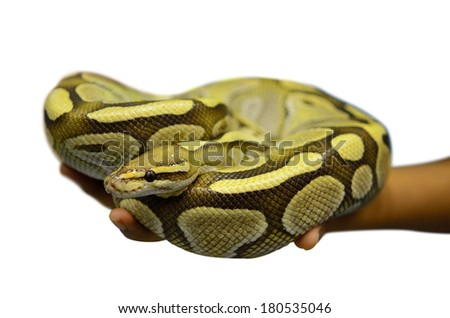 Close up of a young ball python (Python Regius) pet snake held by a pair of young male hands. Isolated on white background, selective focus on the snake's eyes. - stock photo
