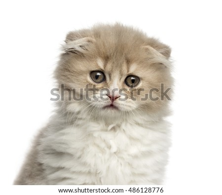 Close-up of a Young Highland Fold kitten isolated on white
