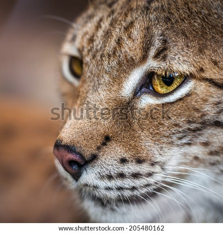 Close-up of a young lynx. Shallow depth of field - stock photo