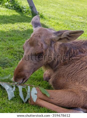 Close up of a young moose calf feeding - stock photo