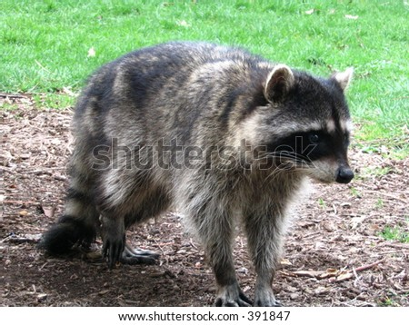close up of a young raccoon in park - stock photo