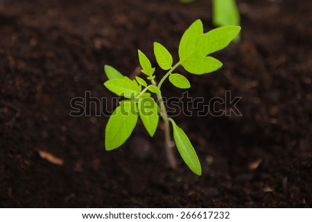 close up of a young tomato sapling plant in potting compost - stock photo