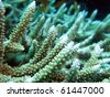 "Close-up of ""acropora cervicornis"" staghorn coral - stock photo"