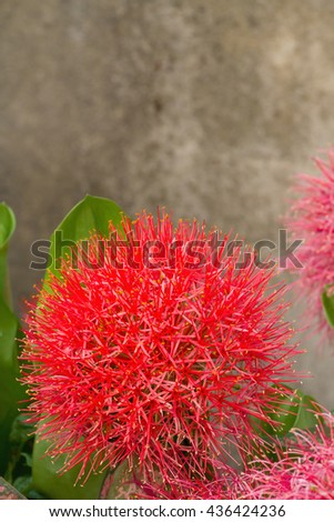 Close up of African blood lily or fireball lily blossom in ornamental garden - stock photo