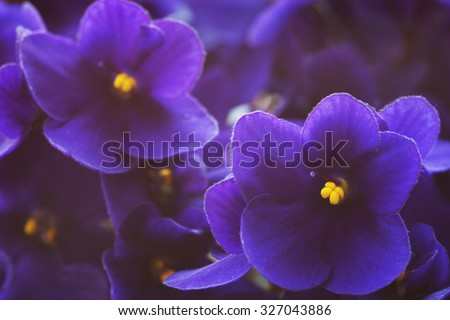 Close-up of African violets (Saintpaulia ).  Shallow depth of field, focus on near flower. - stock photo
