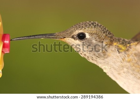 Close-up of Allens Hummingbird (Selasphorus sasin) in flight with a green background - stock photo