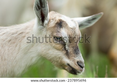 Close up of alpine goatling with grass in background - stock photo