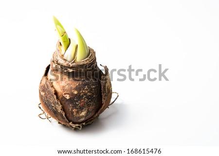 Close up of Amaryllis bulb beginning to grow - stock photo