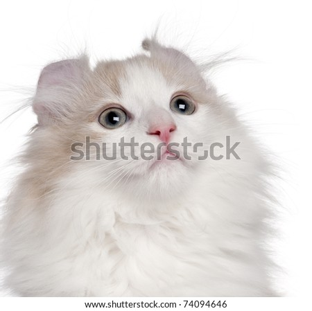 Close-up of American Curl kitten, 3 months old, in front of white background - stock photo