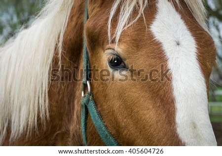 Close-up of Amish work horse. - stock photo