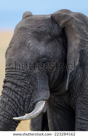 Close-up of an African Elephant in Masai Mara, Kenya - stock photo