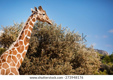 Close Up of an African Giraffe Shot at Daytime - stock photo