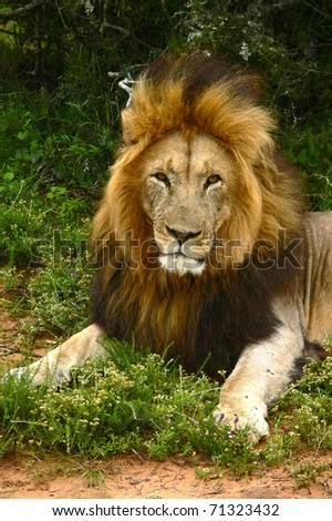 Close-up of an African lion in Gorah, South Africa - stock photo