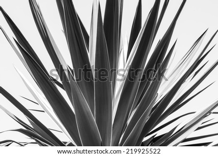 close up of an agave, black and white version - stock photo
