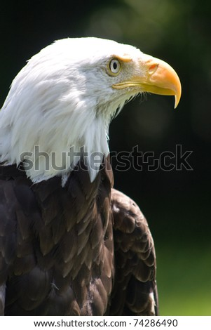 Close up of an American Bald Eagle - stock photo