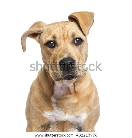 Close up of an American Staffordshire Terrier puppy isolated on white