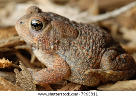 Close-up of an American Toad - stock photo