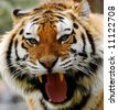close-up of an angry tiger - stock photo