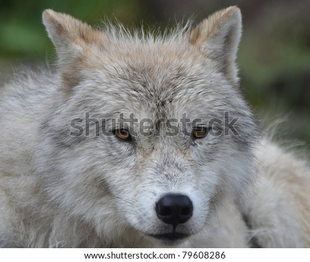 Close up of an Artic Wolf with green background. - stock photo