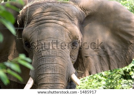 Close-up of an asian elephant.