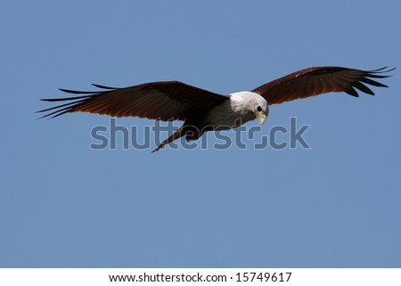 Close-up of an eagle looking for a prey, against blue sky;