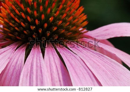 Close up of an Echinacea flower - stock photo