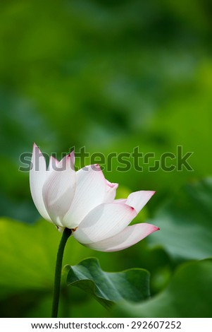 Close-up of an elegant white-pink lotus flower in full bloom - stock photo