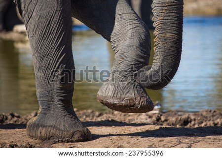 Close-up of an elephant's front feet and trunk-tip - stock photo