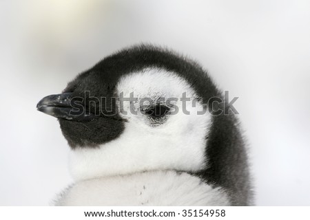 Close-up of an emperor penguin (Aptenodytes forsteri) on the ice in the Weddell Sea, Antarctica - stock photo