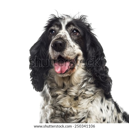 Close-up of an English Cocker Spaniel (12 years old) - stock photo