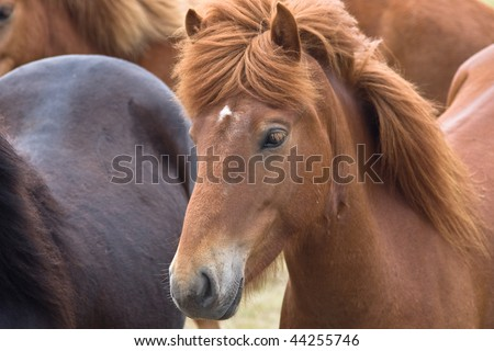 Close up of an icelandic horse among other horses - stock photo