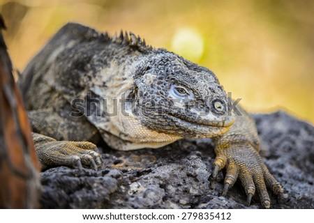 Close up of an iguana marina on the Galapagos Islands, Ecuador - stock photo