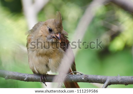Close Up of an Immature Northern Cardinal Perched in a Tree - stock photo