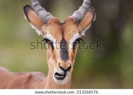 Close-up of an Impala, Etosha National Park, Namibia - stock photo