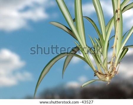 Close up of an offshoot from a Spider Plant. - stock photo