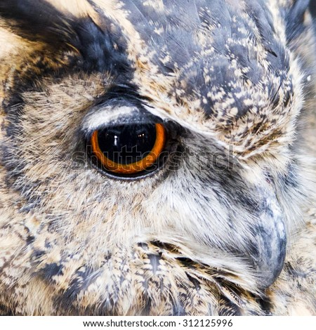 Close up of an owl's eye with orange iris, and large pupils looking straight ahead. - stock photo