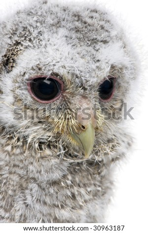 close-up of an owlet's head - Athene noctua (4 weeks old) in front of a white background - stock photo