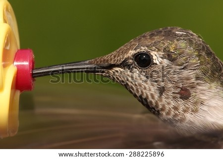 Close up of Annas Hummingbird (Calypte anna) in flight with a green background at a feeder - stock photo