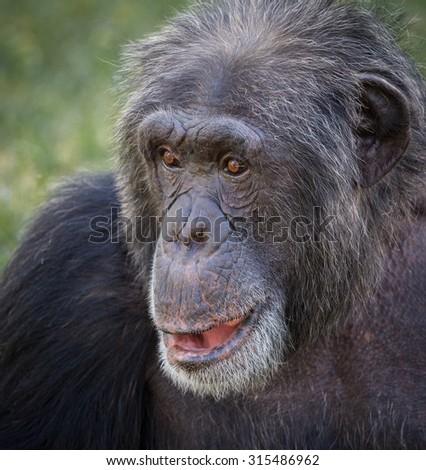 Close up of ape face - stock photo