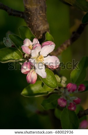 "Close-up of apple tree (Malus domestica ""Flamenco"") blossom, shallow depth of field. - stock photo"