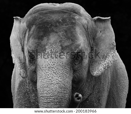 Close up of Asian elephant in black and white against a black background