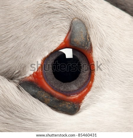 Close-up of Atlantic Puffin eye or Common Puffin eye, Fratercula arctica - stock photo